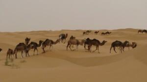 Wycieczka do Tunezji wielbłądy