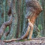 Wycieczka do Kaliningradu Tańczący las Swietłogorsk